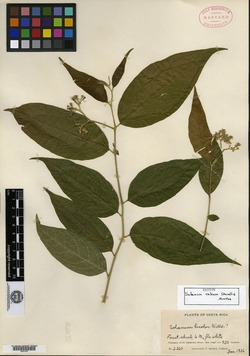 Solanum celsum image