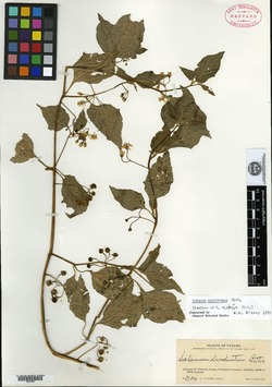 Solanum diodontum image