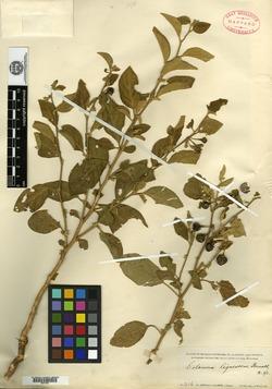 Image of Solanum lignescens