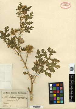 Image of Solanum macroscolum