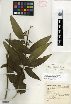 Image of Solanum malacothrix