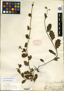 Solanum chamaeacanthum image