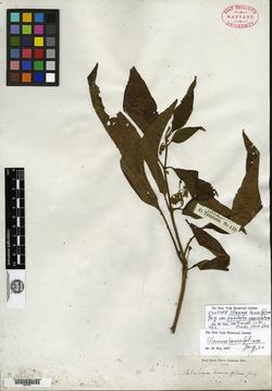 Solanum lanceifolium image