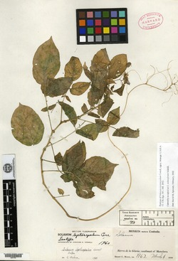 Image of Solanum leptosepalum