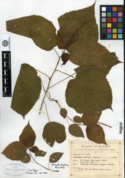 Image of Acalypha gentryi