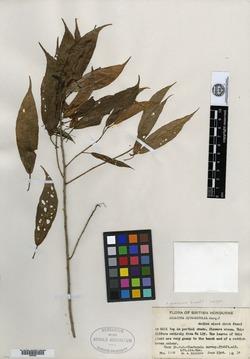 Image of Acalypha gummifera