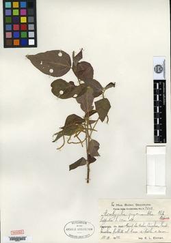 Image of Acalypha pycnantha