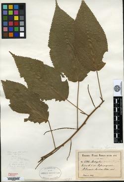 Image of Acalypha leptorhachis