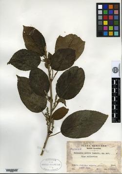 Image of Bernardia mollis