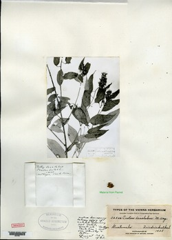 Image of Croton decalobus