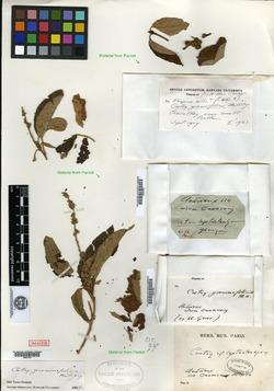 Image of Croton grewiifolius