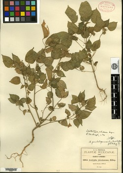 Acalypha pseudalopecuroides image