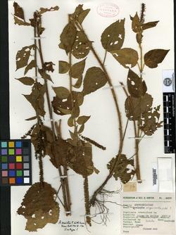 Image of Acalypha erecta