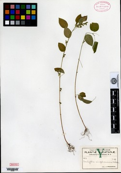 Image of Acalypha aliena