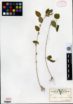 Image of Acalypha aliena