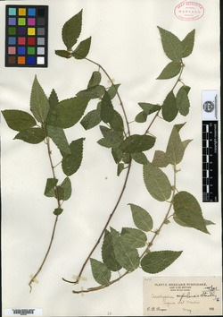 Image of Acalypha rafaelensis