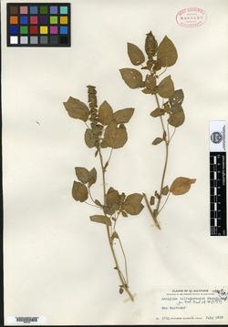 Image of Acalypha salvadorensis