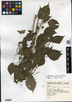 Image of Acalypha trilaciniata