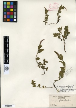 Image of Acalypha veronicoides