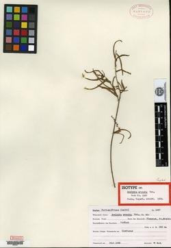 Image of Acalypha angustifolia