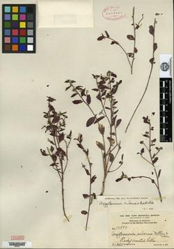 Image of Argythamnia cubensis