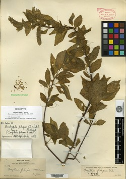 Image of Acalypha filipes