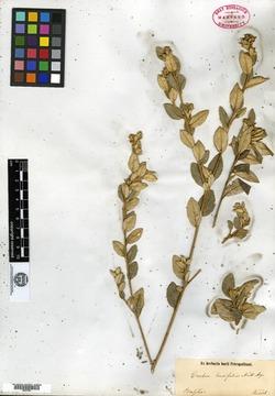 Croton carandaitensis image