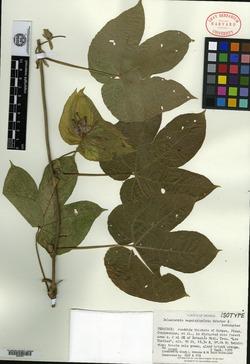 Image of Dalechampia magnistipulata