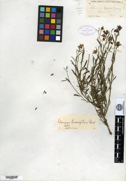 Image of Solanum tenuilobatum
