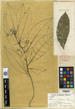 Image of Solanum tuerckheimii