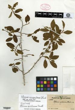 Image of Solanum dasyanthum