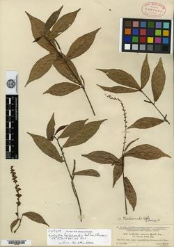 Image of Acalypha ferdinandii