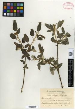 Image of Croton abeggii