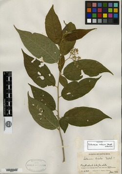 Image of Solanum celsum