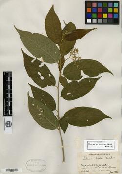 Image of Solanum celsum