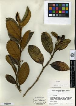 Image of Solanum woodburyi