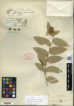 Solanum fragile image