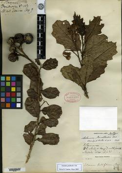 Image of Solanum gundlachii