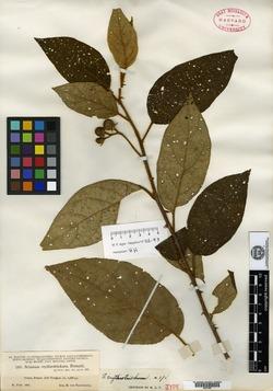 Solanum erythrotrichum image
