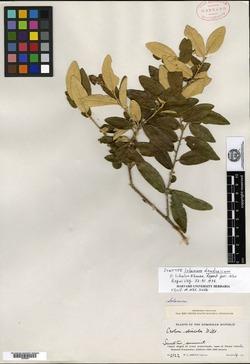 Solanum dendroicum image