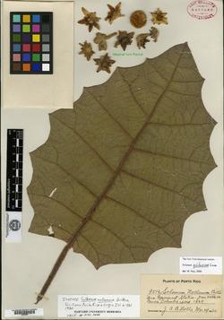 Solanum nollanum image