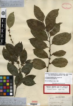 Drypetes alba var. latifolia image
