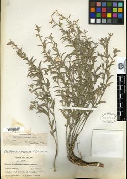 Image of Argythamnia argyraea