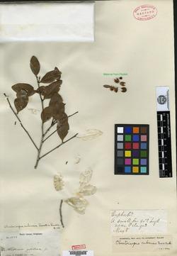 Image of Chaetocarpus cubensis