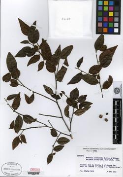 Image of Chaetocarpus acutifolius