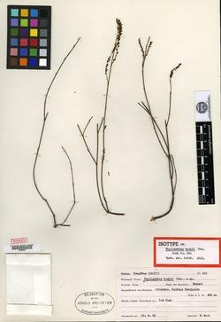 Image of Phyllanthus buchii