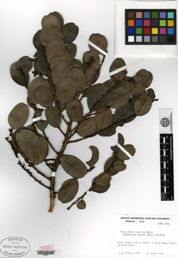 Image of Phyllanthus excisus