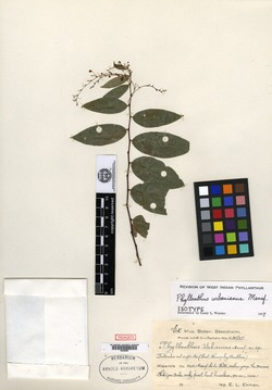 Image of Phyllanthus urbanianus