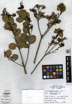 Image of Dendrocousinsia lesteri
