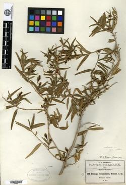 Image of Stillingia bicarpellaris